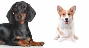 Dorgi Dog Information Center – Discover The Dachshund Corgi Mix Breed