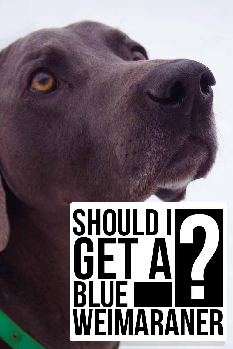 Should I get a Blue Weimaraner ? - Breed reviews from thehappypuppysite.com.