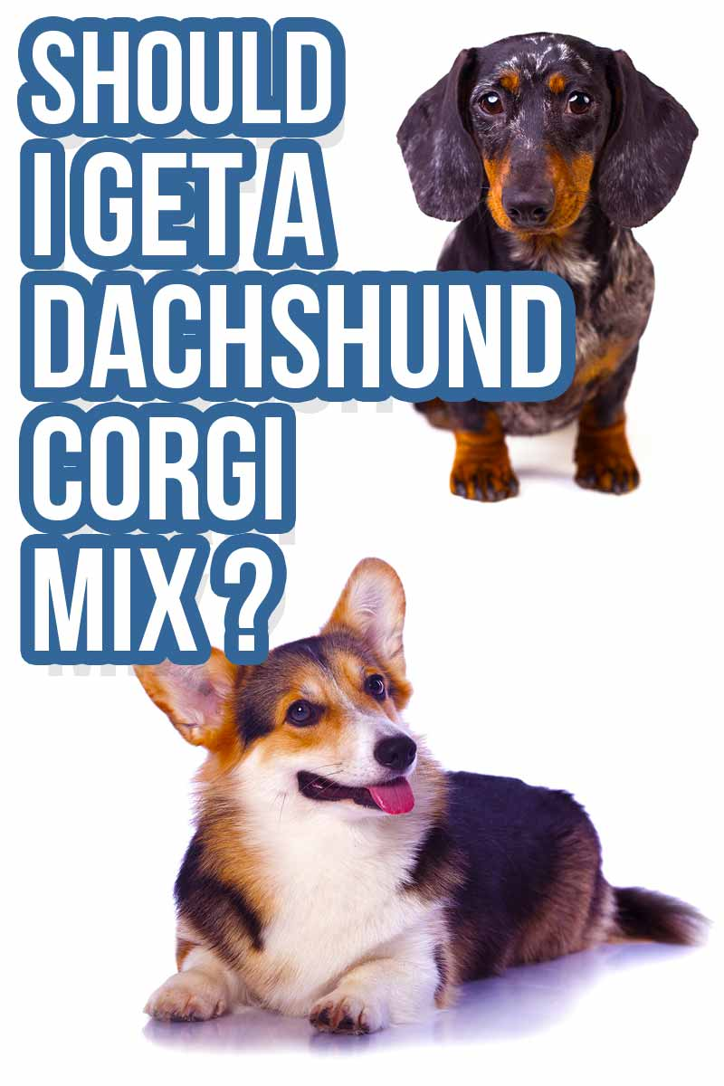 Should I get a Should I get a Dachshund Corgi mix? - Mixed breed reviews from The Happy Puppy Site.
