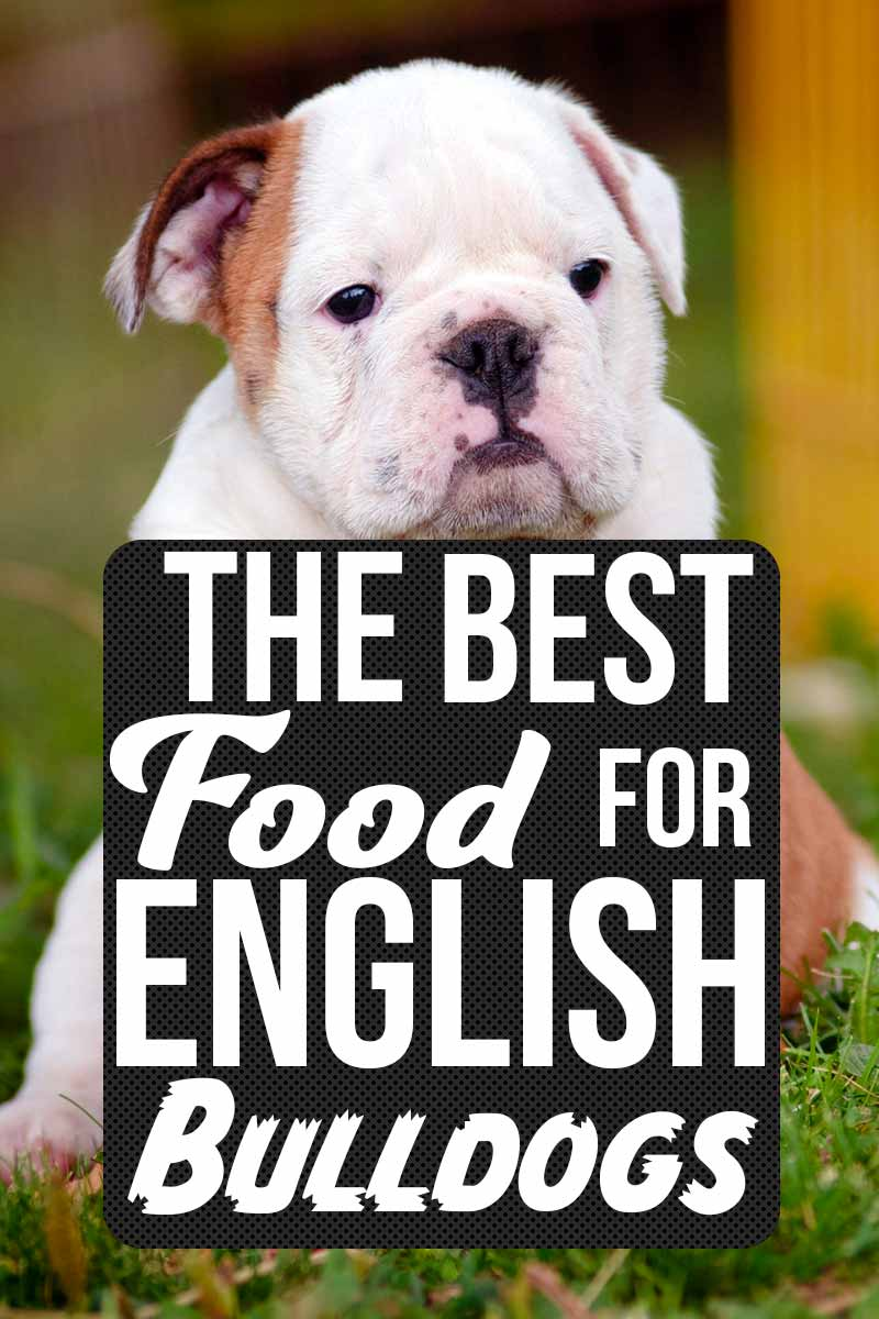 The Best Food For English Bulldogs - Dog health & care advice from TheHappyPuppySite.com