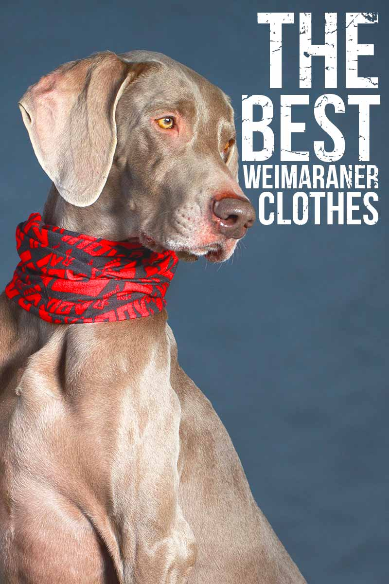 The Best Weimaraner Clothes - Dog fashion review from TheHappyPuppySite.com