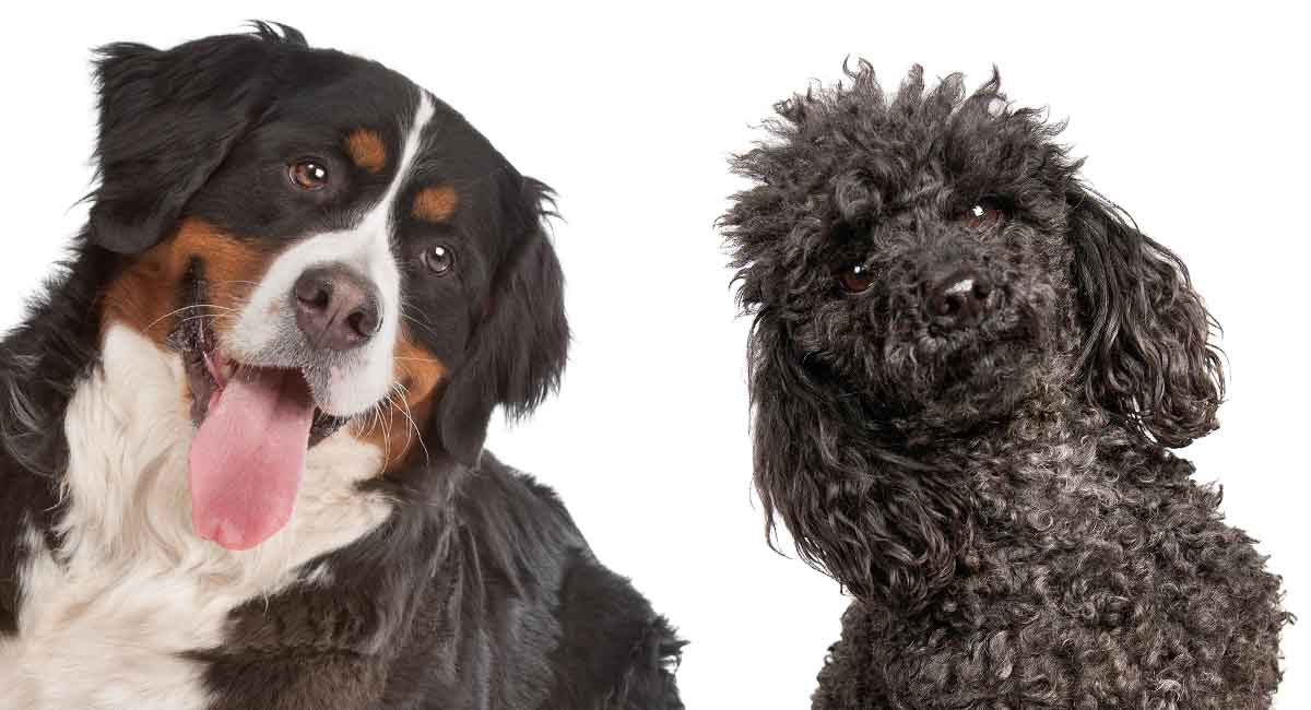 The Mini Bernedoodle A Giant And