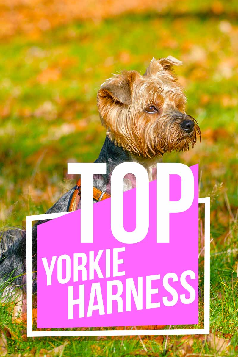 Top Yorkie Harness - Product reviews from The Happy Puppy Site.