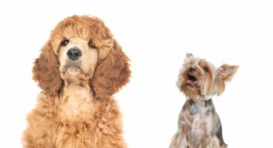 Yorkipoo Information Center – The Yorkie Poodle Mix Breed Dog
