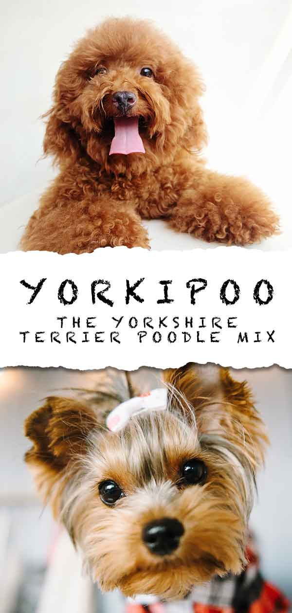 Yorkipoo Information Center - The Yorkie Poodle Mix Breed Dog