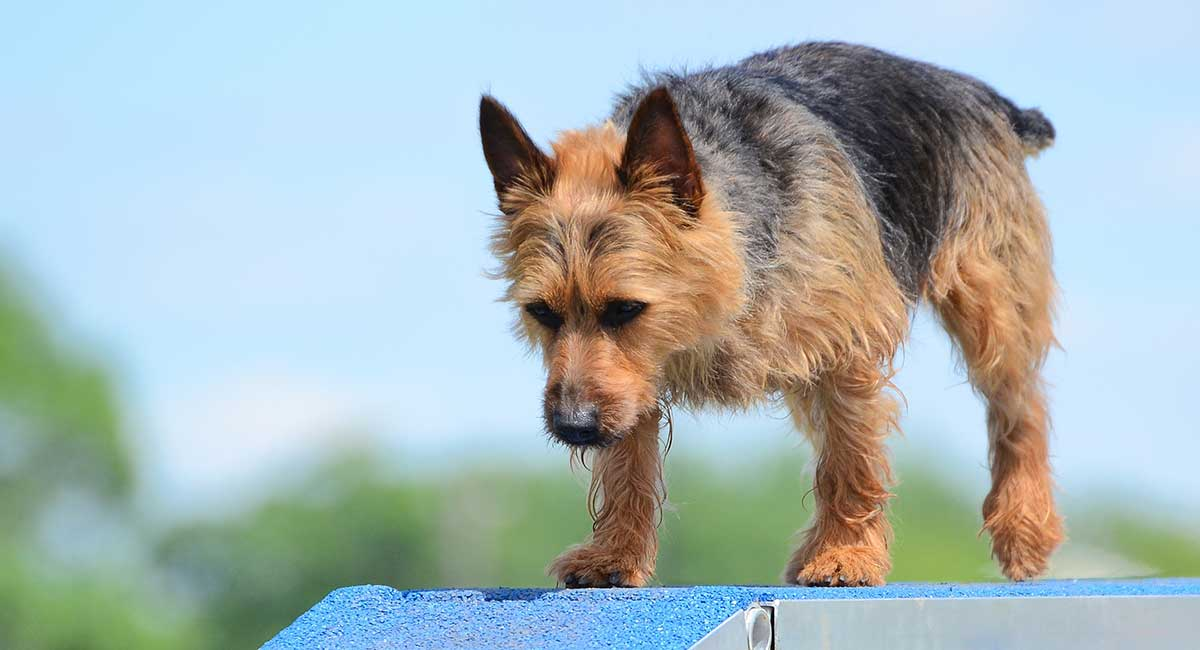 australian dog breeds