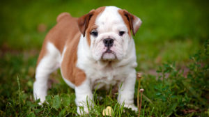 best food for english bulldog puppies
