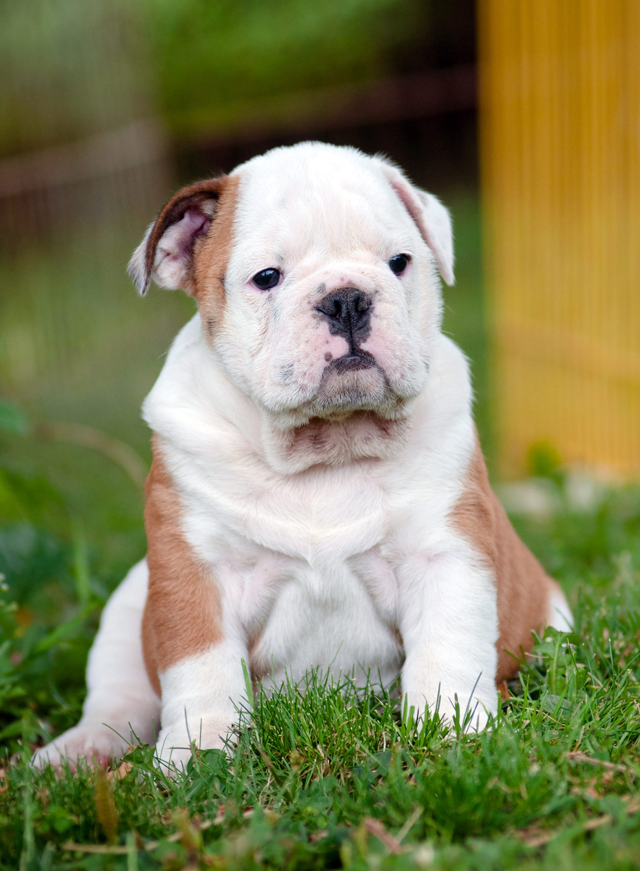best food for english bulldog finding the best food for english bulldog puppies 6579