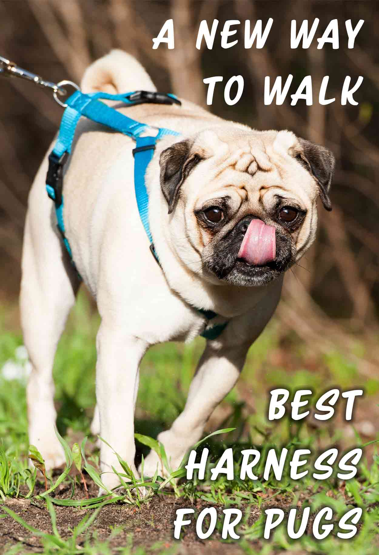 Best harness for pugs, A new way to walk - Dog harness reviews.