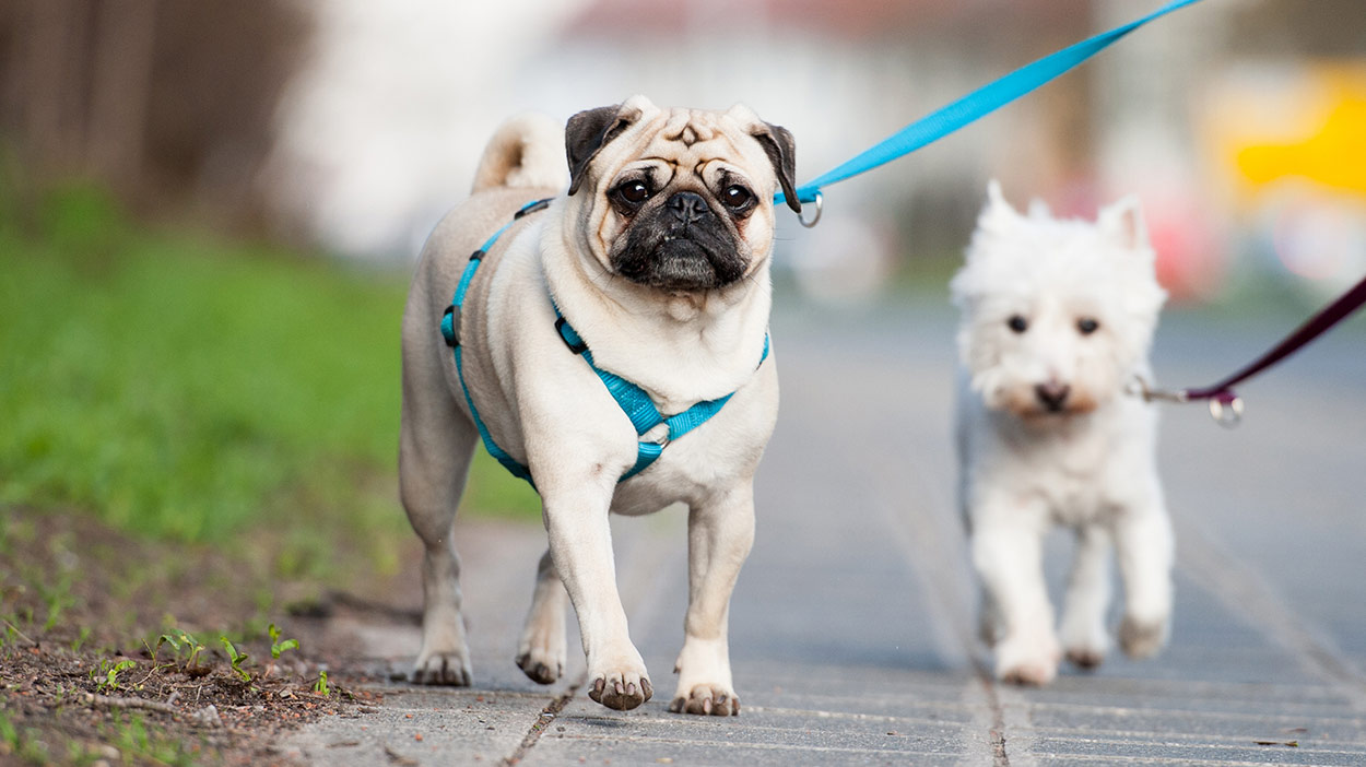 Best Harness For Pugs And Other Small Flat Faced Breeds