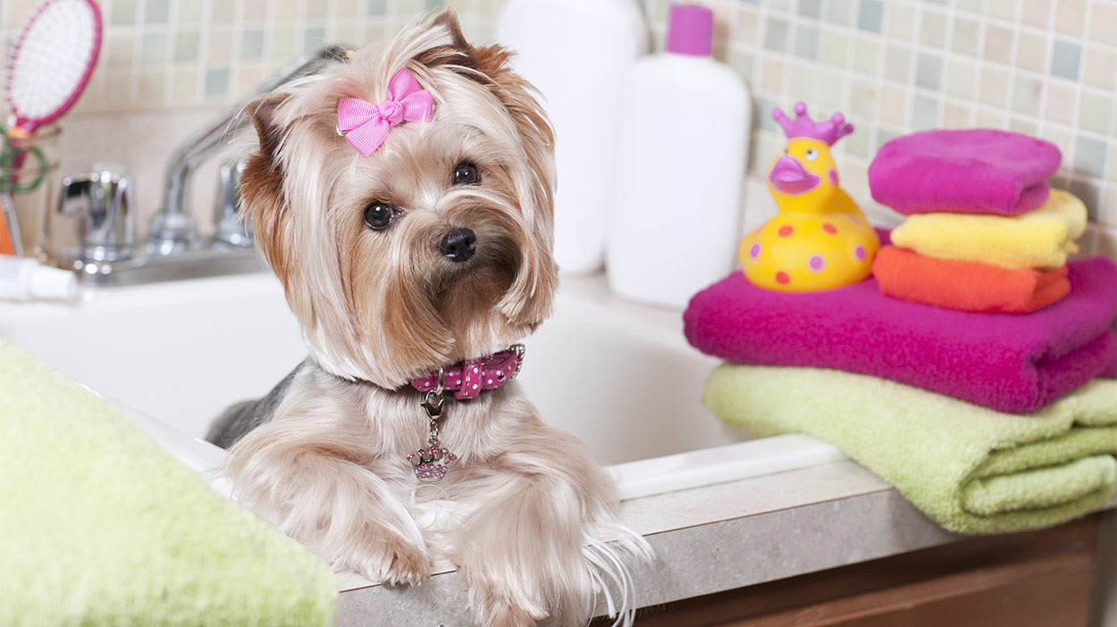 Teacup Yorkie Vaccination and Care