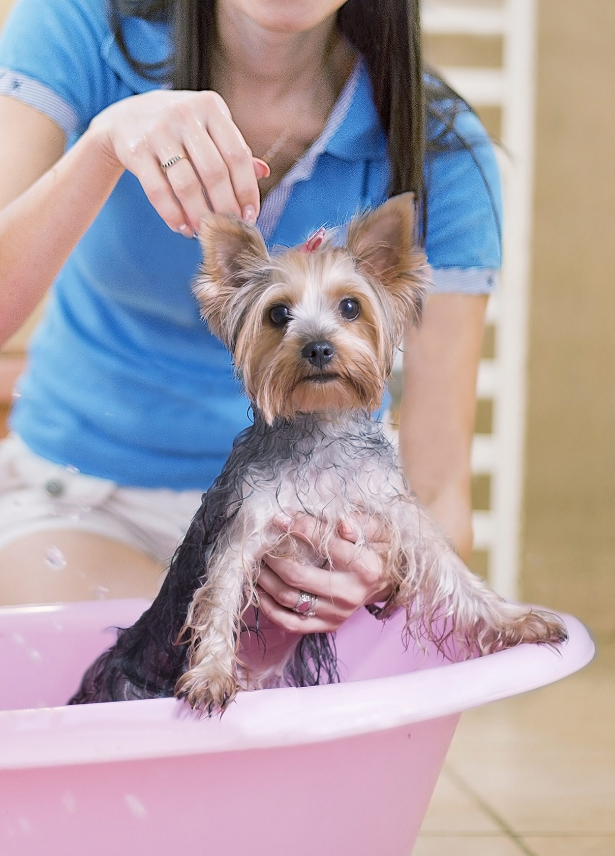 Best Shampoo for Yorkies , Keeping Your Pup Clean and Fresh