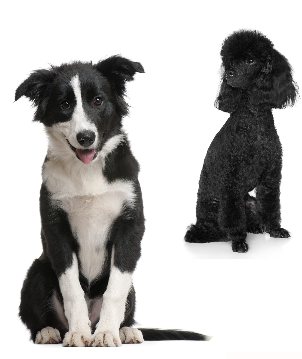 Border Collie Poodle Mix