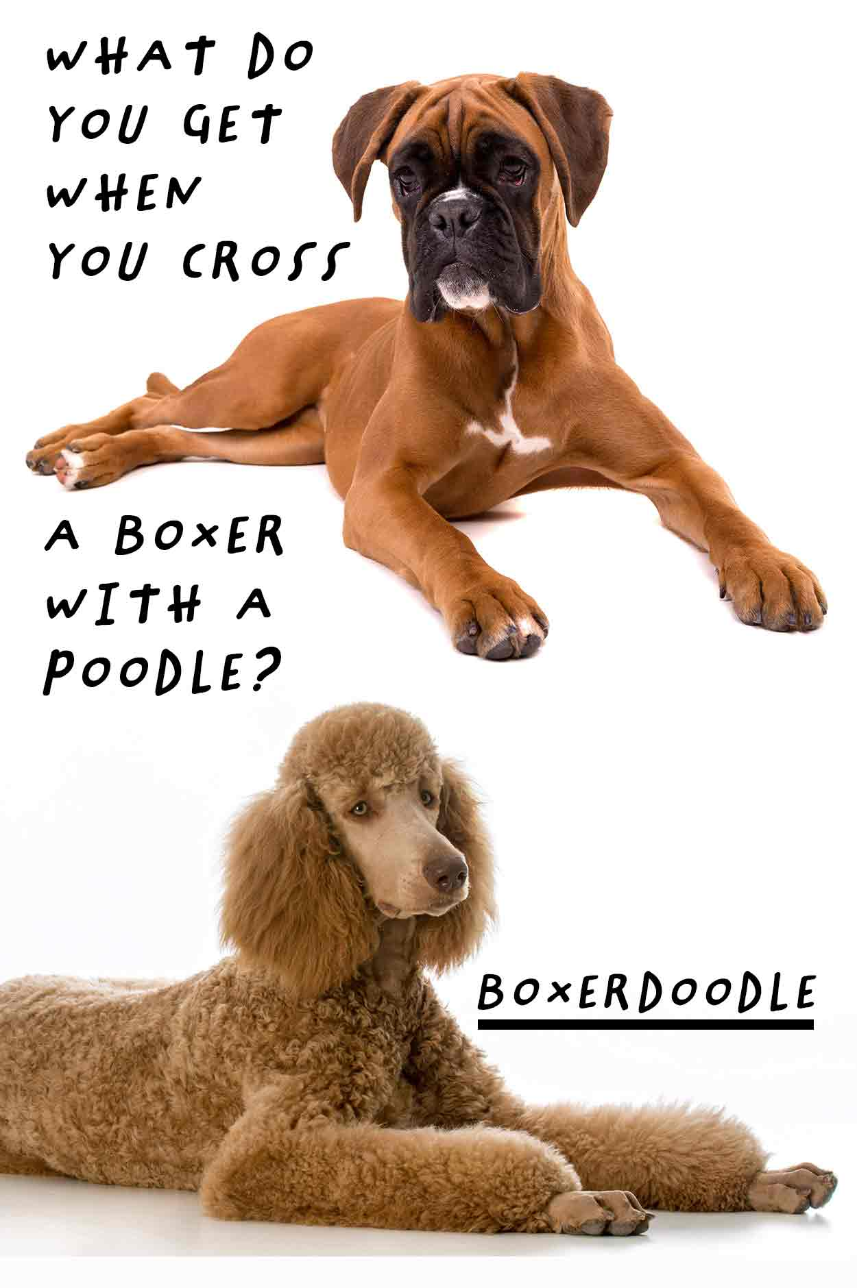 Boxerdoodle the Boxer Poodle mix - Dog breed reviews