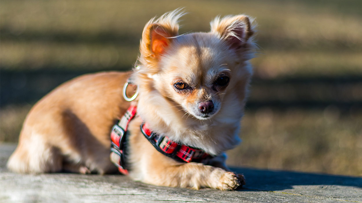Best Chihuahua Harness For Walking Your Tiny Pooch