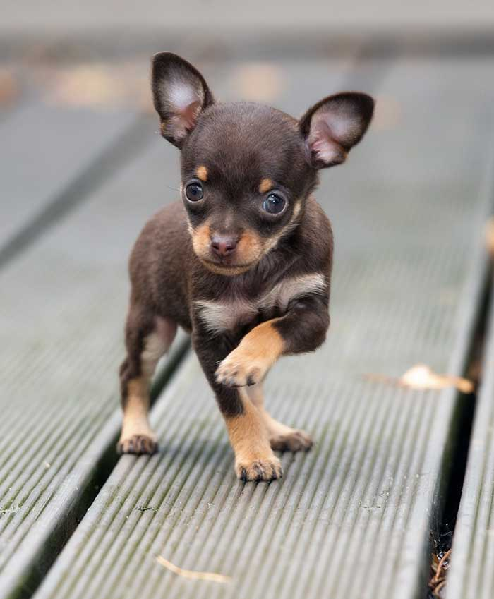 teacup chihuahua - pros and cons