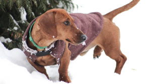 Dachshund Clothes – Dressing Your Doxie For Every Weather