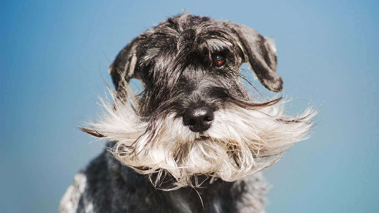 Dogs With Beards Rocking The Hair