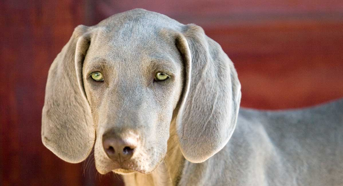 dogs with green eyes