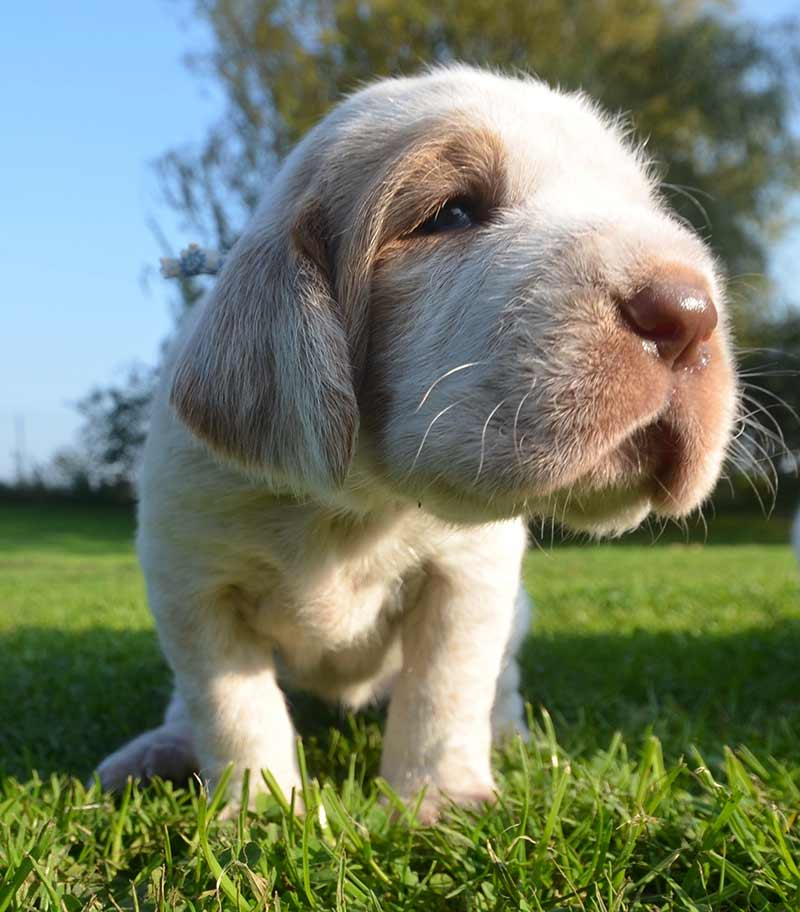 italian dog breeds - spinone