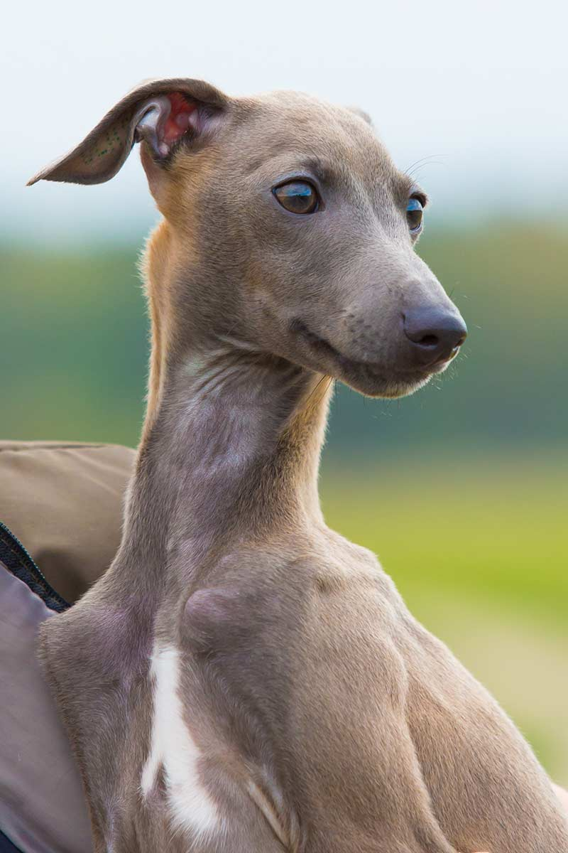 italian dog breeds - greyhound