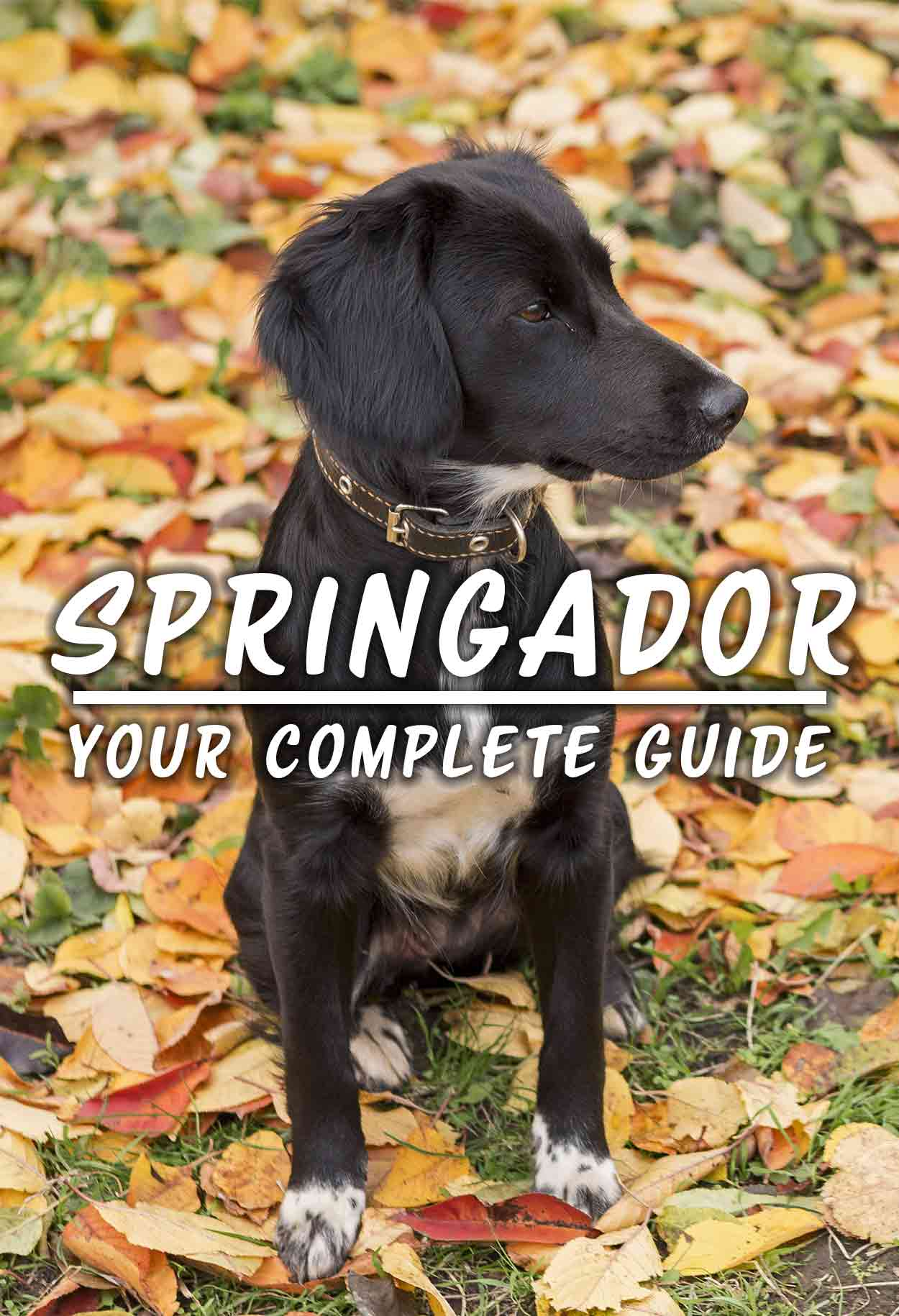 Springador, Your Complete Guide - Dog breed review