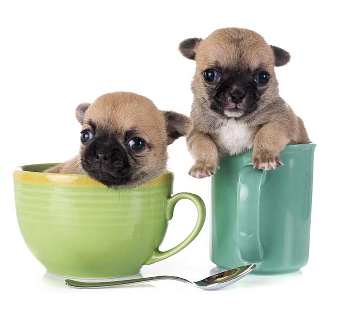 teacup chihuahua puppies are fragile