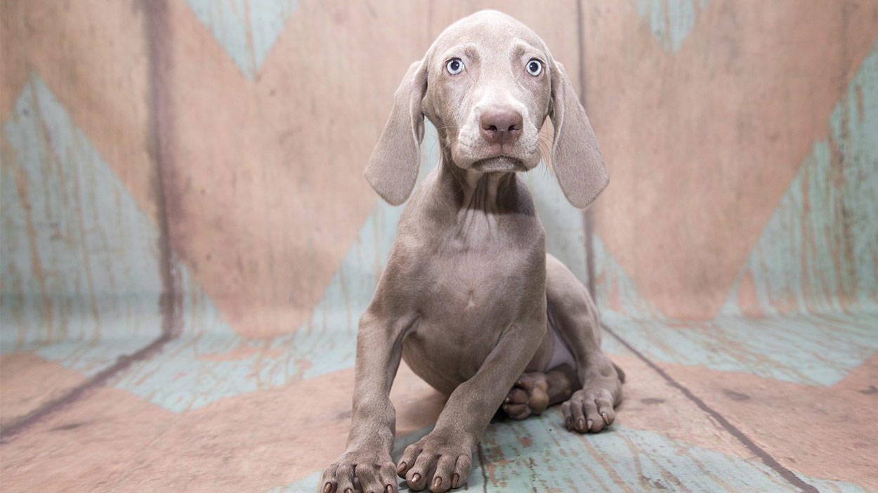 Weimaraner Names Amazing Ideas For