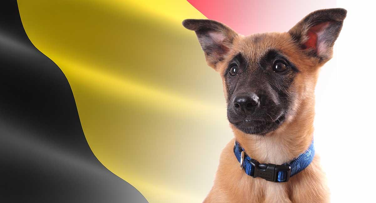 Belgian Dog Breeds