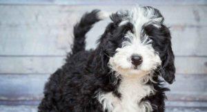 Bernedoodle - The Bernese Mountain Dog Poodle Mix