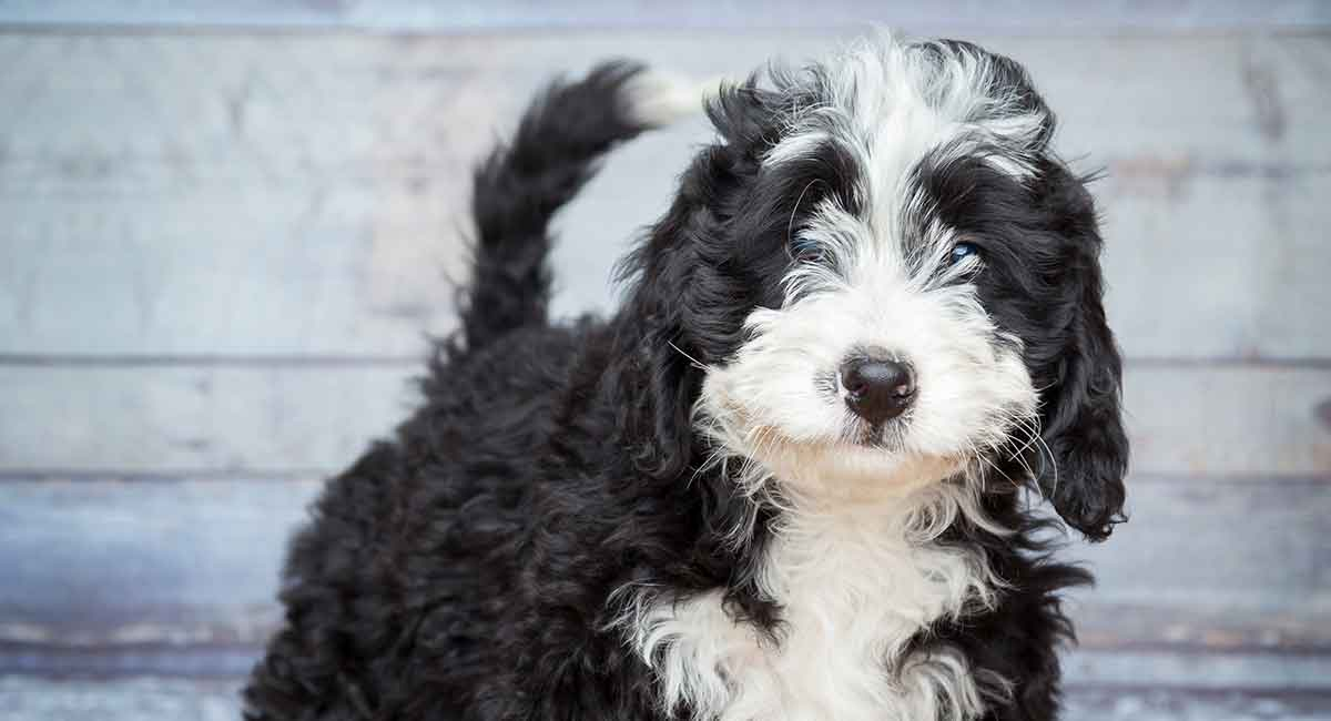 Bernedoodle The Bernese Mountain Dog Poodle Mix