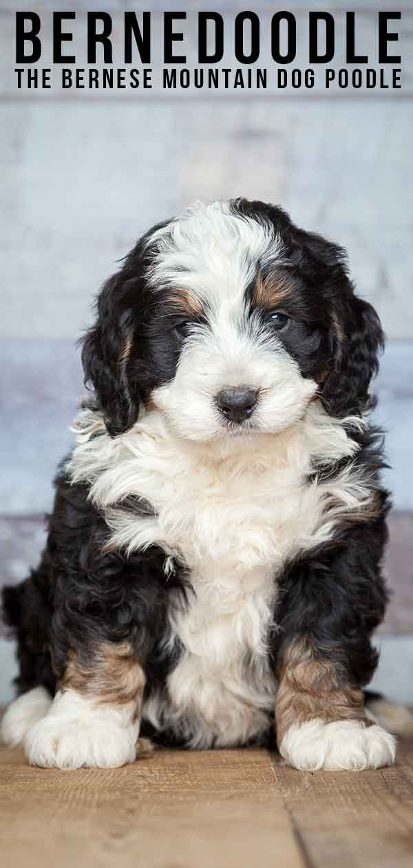 The Bernese Mountain Dog Poodle Mix