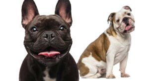 Bulldog Breeds – Which Types Make The Very Best Pets?