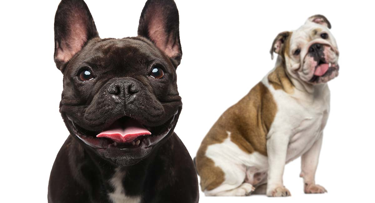 Bulldog Breeds Which Types Make The