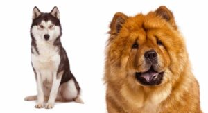 Chusky Information Center – The Chow Chow Husky Mix Breed Guide
