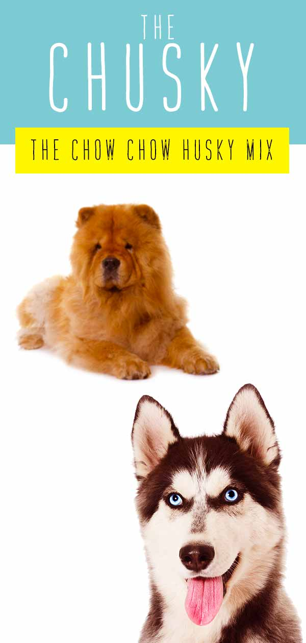 Chusky Information Center - The Chow Chow Husky Mix Breed Guide