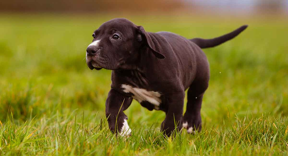 Great Dane Lab Mix Breed A Complete