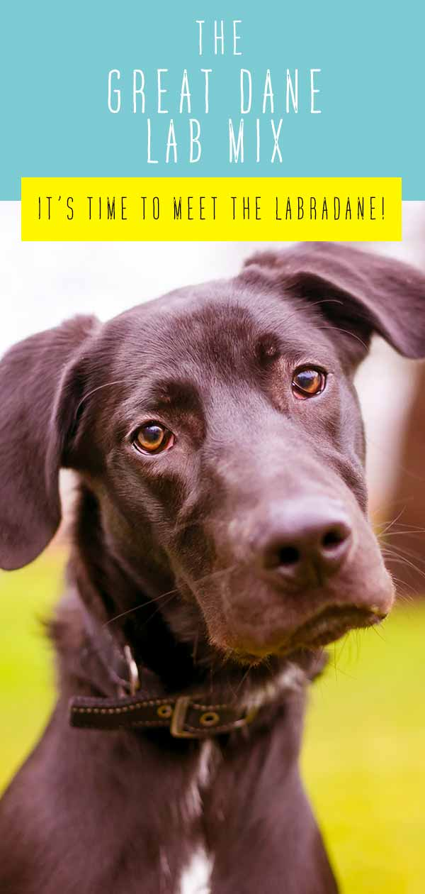 Great Dane Lab Mix Breed - A Complete Guide to The Labradane Dog
