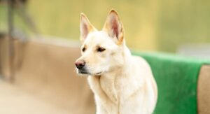 Korean Jindo Dog Breed Information Center – A Guide To The Jindo Dog