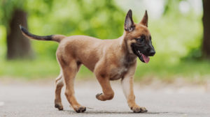 Belgian Dog Breeds – The Amazing Pups That Come From Belgium