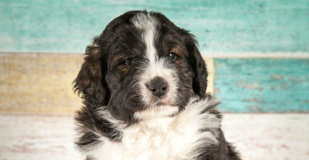 Bernedoodle - The Bernese Mountain Dog Poodle Mix