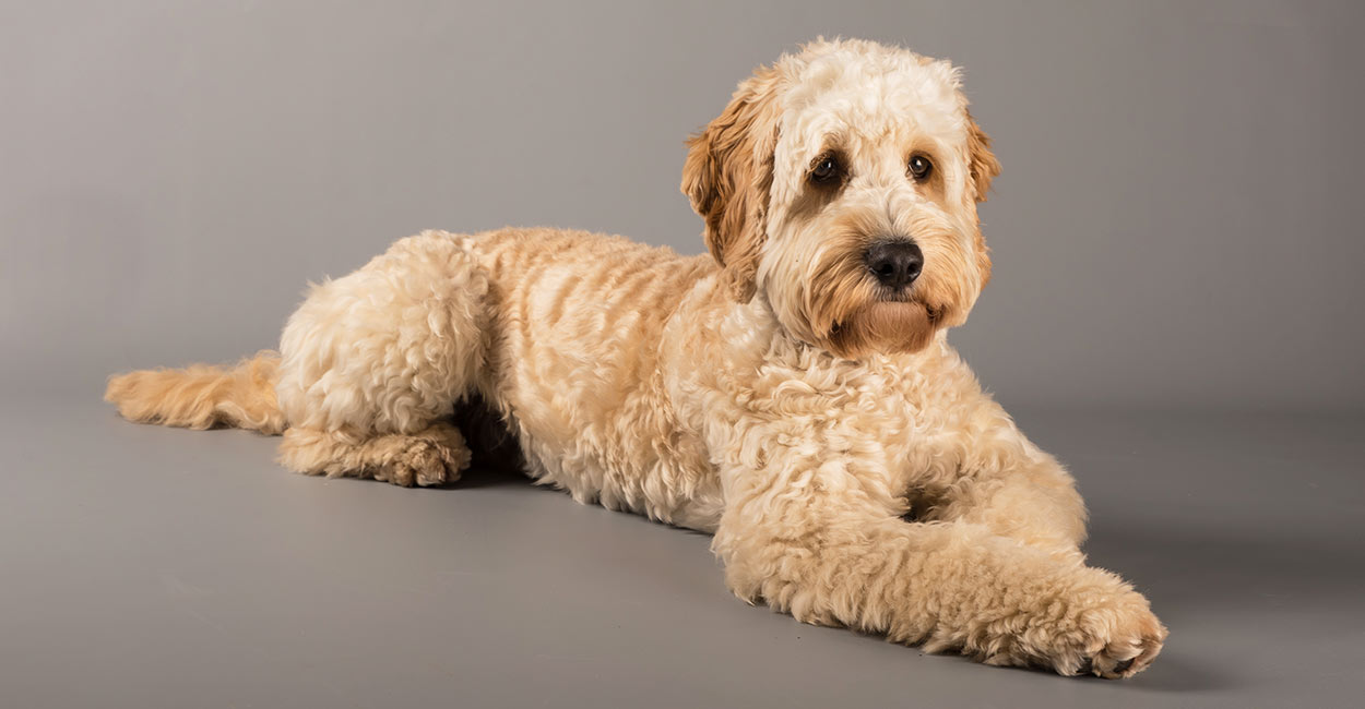 Cockapoo with curly fur