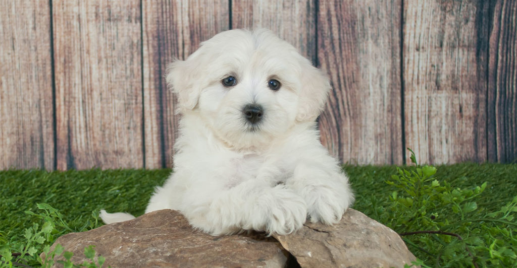 Best Food For Maltipoo Puppies Dogs