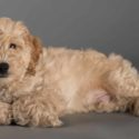 small poodle mixes