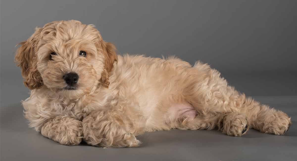 Cockapoo - A Complete Guide To The Cocker Spaniel Poodle Mix
