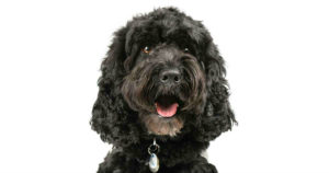 Cockapoo Training: An Expert Guide