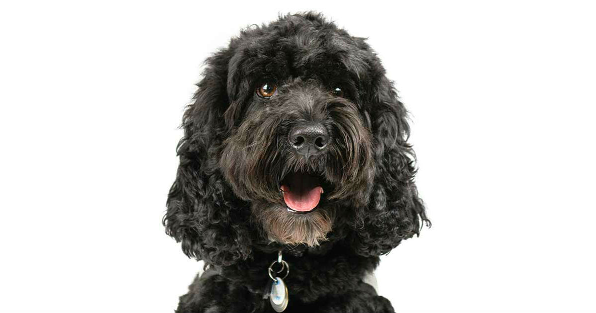 Cockapoo Training: An Expert Guide To Getting To Grips With