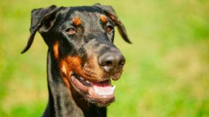 Doberman Pinscher – Fierce Guard Dog Or Loyal Family Pet?