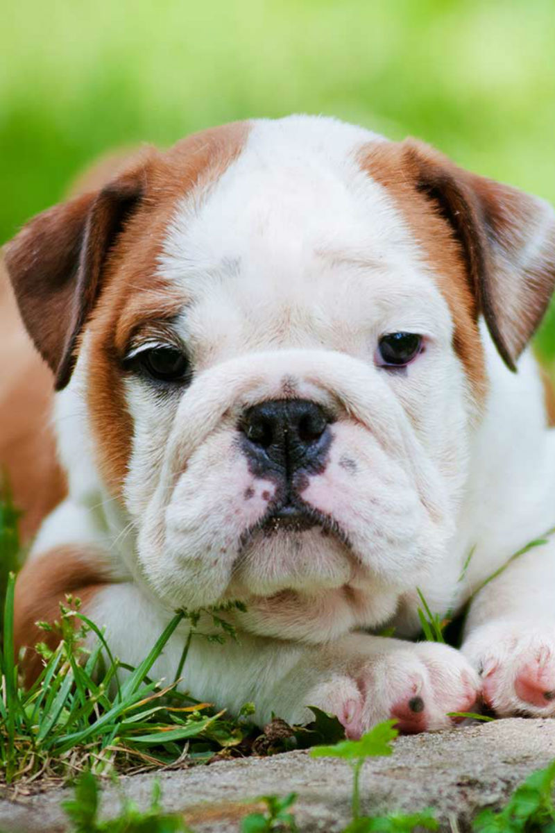 how much are english bulldogs