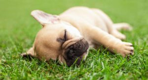 French Bulldog Health Review Reveals Widespread Problems